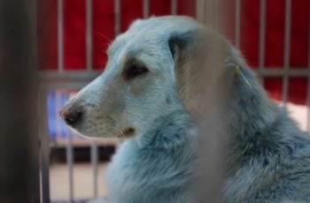 Njima je to najnormalnije: pojavili su se ovakvi psi - živi, zdravi i PLAVI!
